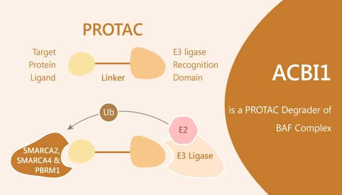 ACBI1 is a PROTAC Degrader of BAF Complex 2019 08 07 - ACBI1 is a PROTAC Degrader of  BAF Complex