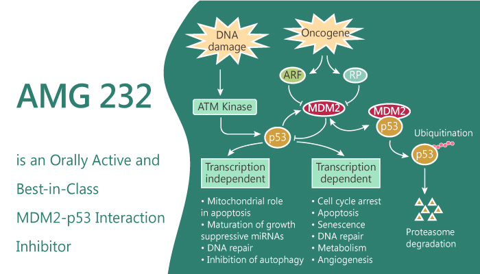 AMG 232 is an Orally Active and Best in Class MDM2 p53 Inhibitor 2019 08 27 - AMG 232 is an Orally Active and Best-in-Class MDM2-p53 Inhibitor