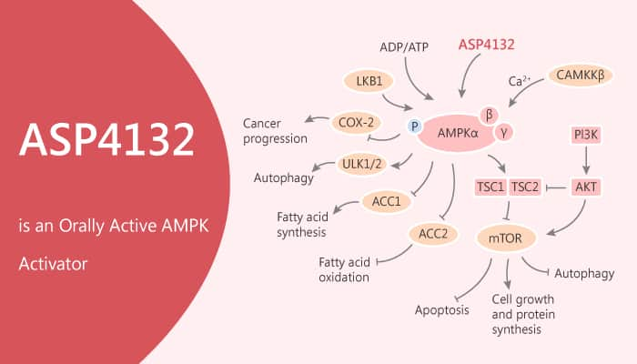 ASP4132 is an Orally Active AMPK Activator