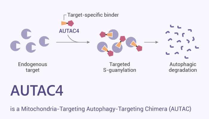 AUTAC4 is a Mitochondria Targeting Autophagy Targeting Chimera AUTAC 2021 06 12 - AUTAC4 is a Mitochondria-Targeting Autophagy-Targeting Chimera (AUTAC)