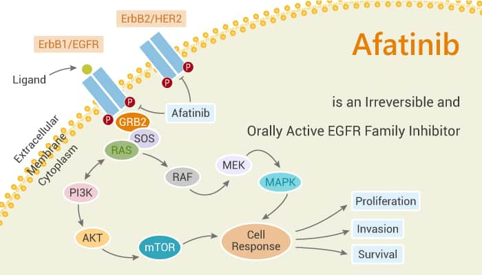 Afatinib is an Irreversible and Orally Active EGFR Family Inhibitor 2020 01 18 - Afatinib is an Irreversible and Orally Active EGFR Family Inhibitor