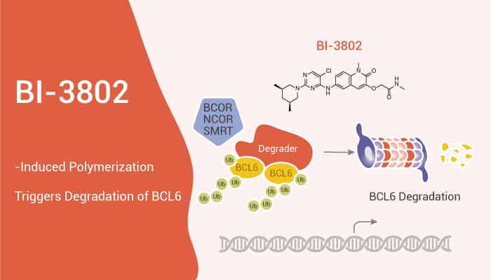 BI 3802 Induced Polymerization Triggers Degradation of BCL6 2020 12 23 - BI-3802-Induced Polymerization Triggers Degradation of BCL6