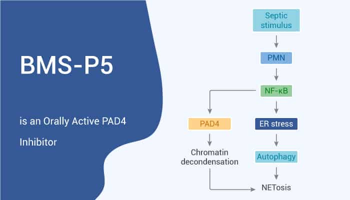 BMS P5 is an Orally Active PAD4 Inhibitor 2020 12 12 - BMS-P5 is an Orally Active PAD4 Inhibitor
