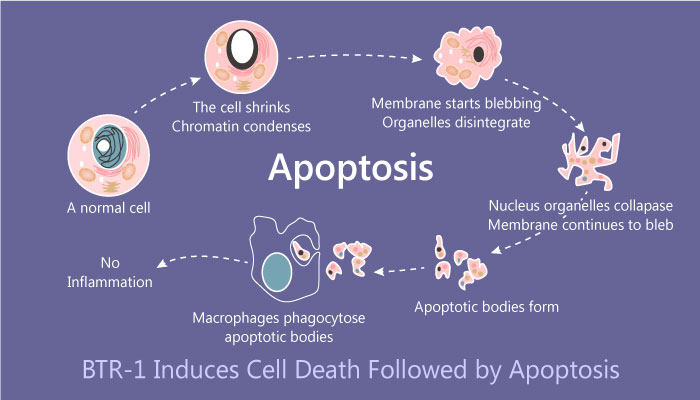 BTR 1 cell death apoptosis 2019 04 24 1 - BTR-1 Induces Cell Growth Inhibition Followed by Apoptosis