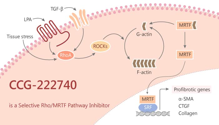 CCG 222740 is a Selective Rho MRTF Pathway Inhibitor 2019 11 7 - CCG-222740 is a Selective Rho/MRTF Pathway Inhibitor