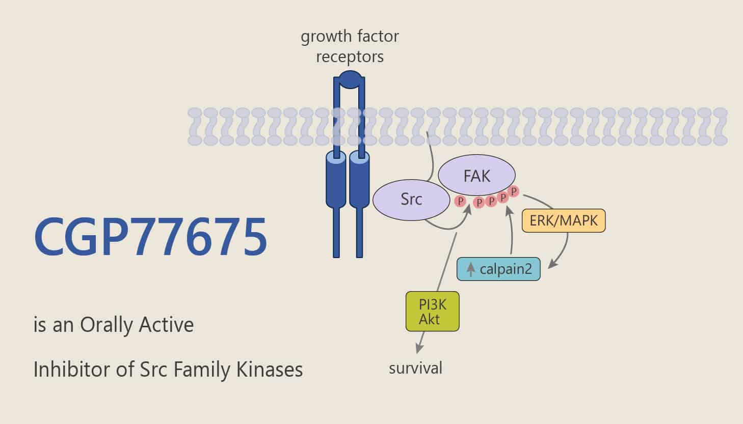 CGP77675 is an Orally Active Inhibitor of Src Family Kinases 2020 05 30 - CGP77675 is an Orally Active Inhibitor of Src Family Kinases