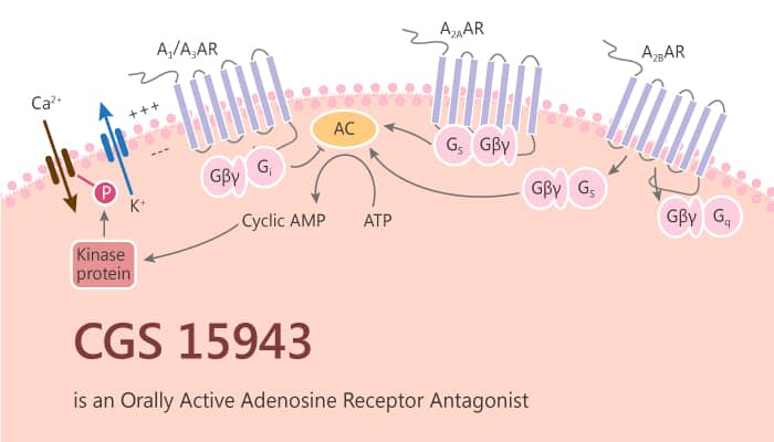 CGS 15943 is an Orally Active Adenosine Receptor Antagonist 2019 10 12 - CGS 15943 is an Orally Active Adenosine Receptor Antagonist