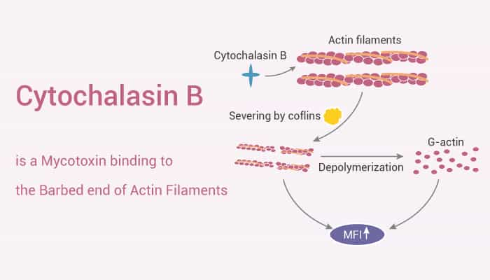 Cytochalasin B is a Mycotoxin binding to the Barbed end of Actin Filaments 2021 10 19 - Cytochalasin B is a Mycotoxin binding to the Barbed end of Actin Filaments