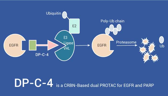DP C 4 is a CRBN Based dual PROTAC for EGFR and PARP 2021 07 17 - DP-C-4 is a CRBN-Based dual PROTAC for EGFR and PARP