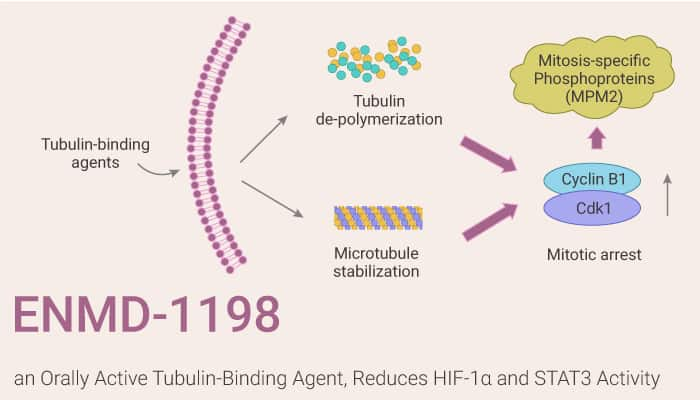 ENMD 1198 an Orally Active Tubulin Binding Agent Reduces HIF 1α and STAT3 Activity 2021 03 06 - ENMD-1198, an Orally Active Tubulin-Binding Agent, Reduces HIF-1α and STAT3 Activity