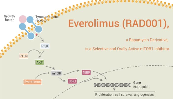 Everolimus RAD001 a Rapamycin Derivative is a Selective and Orally Active mTOR1 Inhibitor 2021 09 07 - Everolimus (RAD001), a Rapamycin Derivative, is a Selective and Orally Active mTOR1 Inhibitor