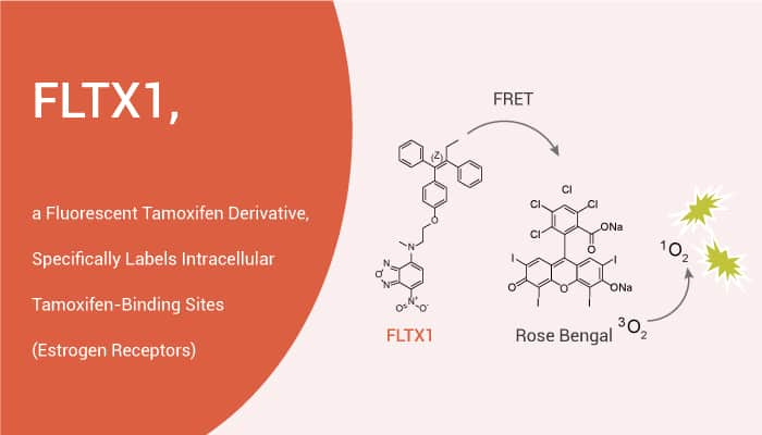 FLTX1 a Fluorescent Tamoxifen Derivative Specifically Labels Intracellular Tamoxifen Binding Sites Estrogen Receptors 2021 03 31 - FLTX1, a Fluorescent Tamoxifen Derivative, Specifically Labels Intracellular Binding Sites (ER)