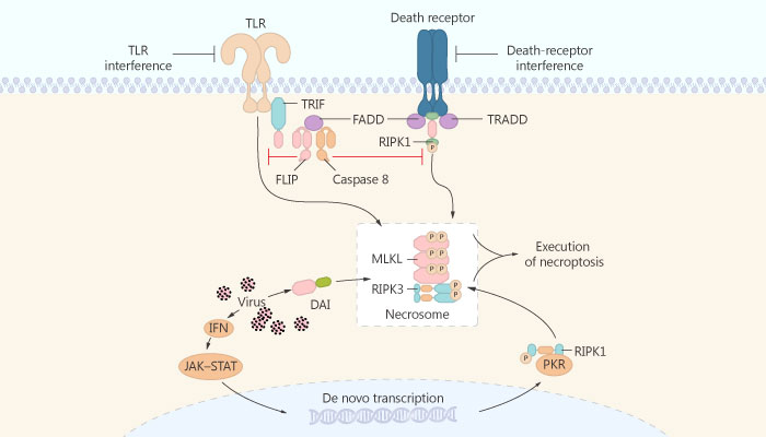 HS 1371 Receptor interacting protein kinase 3 RIP3 RIPK3 inhibitor colon cancer 2019 04 09 - HS-1371 is a Small Molecule RIP3 Inhibitor