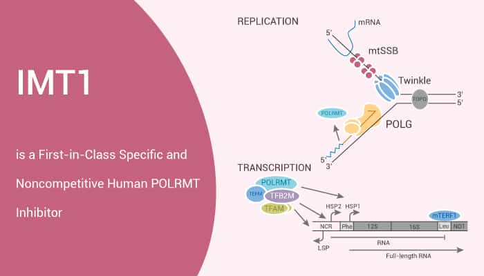 IMT1 is a First in Class Specific and Non competitive Human POLRMT Inhibitor 2021 03 13 - IMT1 is a First-in-Class Specific and Noncompetitive Human POLRMT Inhibitor