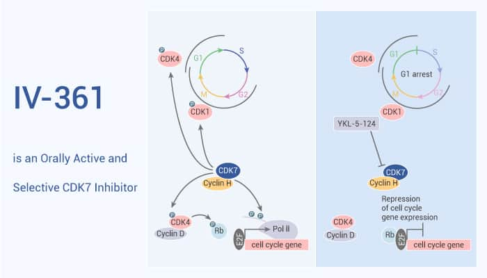 IV 361 is an Orally Active and Selective CDK7 Inhibitor 2021 08 19 - IV-361 is an Orally Active and Selective CDK7 Inhibitor