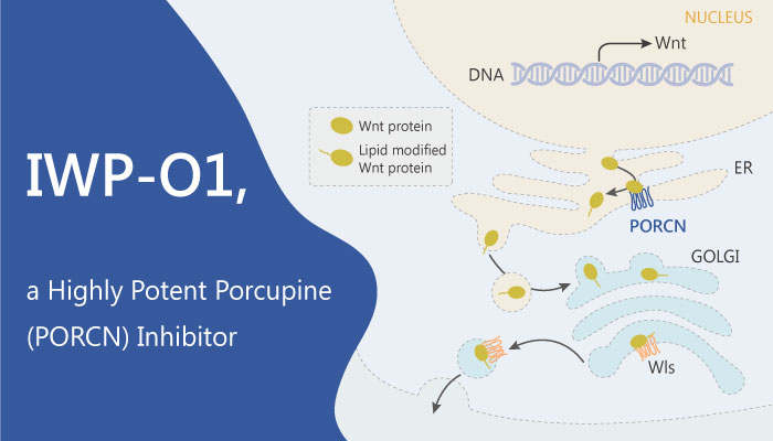 IWP O1 a Highly Potent Porcupine Inhibitor Functions by Preventing the Secretion of Wnt Proteins 2019 06 03 - IWP-O1, a Highly Potent Porcupine Inhibitor, Functions by Preventing the Secretion of Wnt Proteins