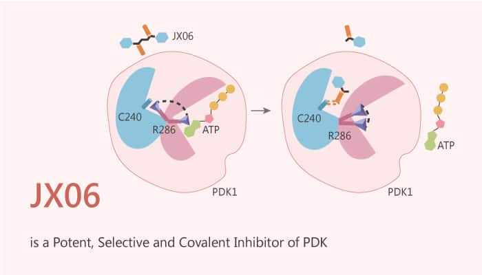 JX06 is a Potent Selective and Covalent Inhibitor of PDK 2020 08 01 - JX06 is a Potent, Selective and Covalent Inhibitor of PDK