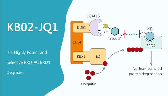 KB02 JQ1 is a Highly Potent and Selective PROTAC BRD4 Degrader 2020 01 01 - KB02-JQ1 is a Highly Potent and Selective PROTAC BRD4 Degrader