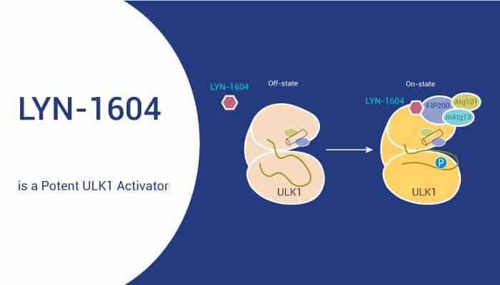 LYN 1604 is a Potent ULK1 Activator 2021 04 24 - LYN-1604 is a Potent ULK1 Activator