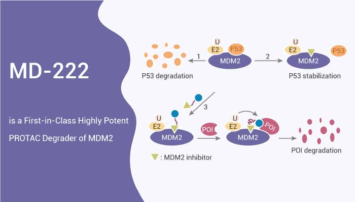 MD 222 is a First in Class Highly Potent PROTAC Degrader of MDM2 2021 05 14 - MD-222 is a First-in-Class Highly Potent PROTAC Degrader of MDM2