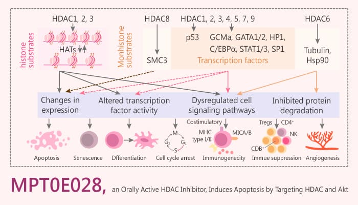 MPT0E028 an Orally Active HDAC Inhibitor Induces Apoptosis by Targeting HDAC and Akt Cancer 2019 09 20 - MPT0E028, an Orally Active HDAC Inhibitor, Induces Apoptosis by Targeting HDAC and Akt