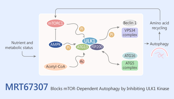 MRT67307 Blocks mTOR Dependent Autophagy by Inhibiting ULK1 Kinase 2019 07 03 - MRT67307 Blocks mTOR-Dependent Autophagy by Inhibiting ULK1 Kinase