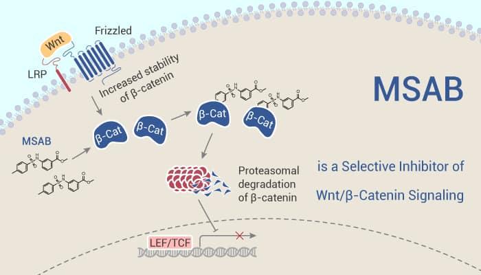 MSAB - MSAB is a Selective Inhibitor of Wnt/β-Catenin Signaling
