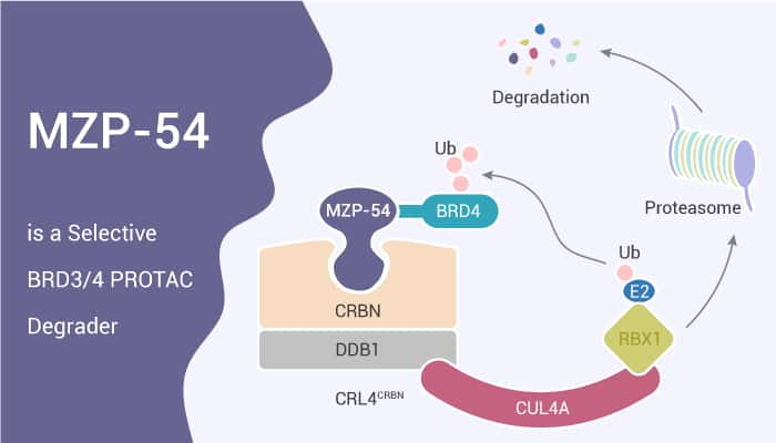 MZP 54 is a Selective BRD34 PROTAC Degrader 2020 12 02 - MZP-54 is a Selective BRD3/4 PROTAC Degrader