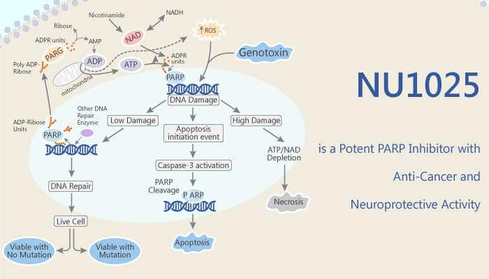 NU1025 is a Potent PARP Inhibitor with Anti Cancer and Neuroprotective Activity 2020 04 07 - NU1025 is a Potent PARP Inhibitor with Anti-Cancer and Neuroprotective Activity
