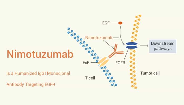 Nimotuzumab is a Humanized IgG1 Monoclonal Antibody Targeting EGFR 2021 07 27 - Nimotuzumab is a Humanized IgG1 Monoclonal Antibody Targeting EGFR