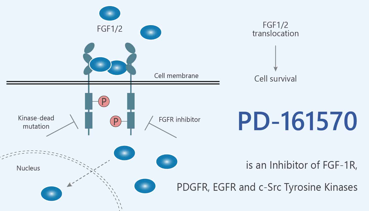 PD 161570 is an Inhibitor of FGF 1R PDGFR EGFR and c Src Tyrosine Kinases 2020 06 03 - PD-161570 is an Inhibitor of FGF-1R, PDGFR, EGFR and c-Src Tyrosine Kinases