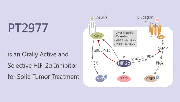 PT2977 is an Orally Active and Selective HIF 2α Inhibitor for solid Tumor Treatment 2019 08 21 - PT2977 is an Orally Active and Selective HIF-2α Inhibitor for Solid Tumor Treatment
