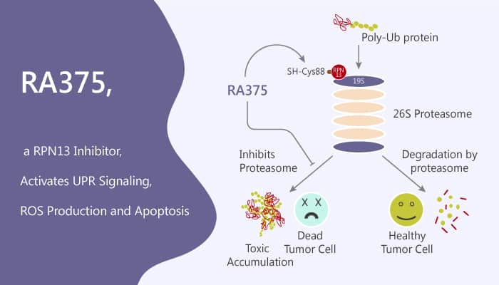 RA375 a RPN13 Inhibitor Activates UPR Signaling ROS Production and Apoptosis 2020 07 21 - RA375, a RPN13 Inhibitor, Activates UPR Signaling, ROS Production and Apoptosis