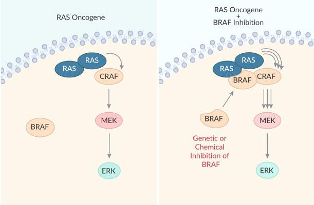 RAF709 RAF MAPK inhibitor lung cancer tumor regression 2019 03 30 - A Novel and Efficacious RAF Inhibitor RAF709