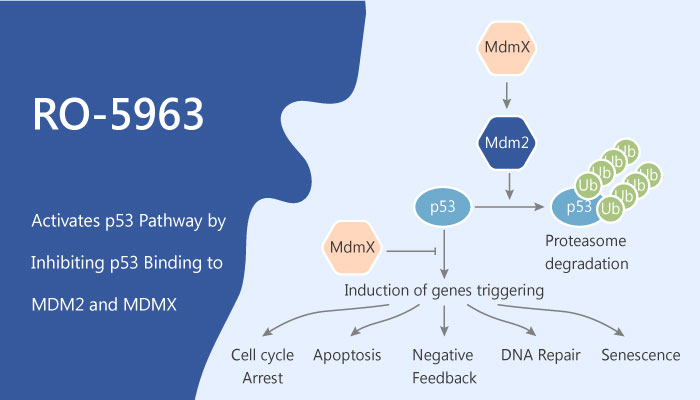 RO 5963 Activates p53 Pathway by Inhibiting p53 Binding to MDM2 and MDMX in Cancer Cells 2019 06 21 - RO-5963 Activates p53 Pathway by Inhibiting p53 Binding to MDM2 and MDMX in Cancer Cells