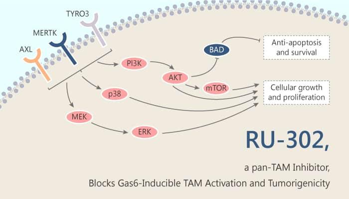 RU 302 a pan TAM Inhibitor Blocks Gas6 Inducible TAM Activation and Tumorigenicity 2019 09 11 - RU-302, a pan-TAM Inhibitor, Blocks Gas6-Inducible TAM Activation and Tumorigenicity