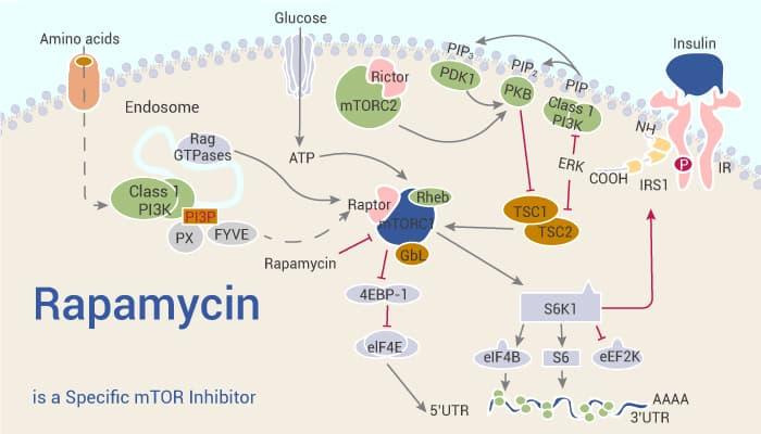Rapamycin is a Specific mTOR Inhibitor 2021 08 25 - Rapamycin is a Specific mTOR Inhibitor
