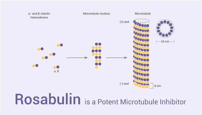 Rosabulin is a Potent Microtubule Inhibitor 2021 05 01 - Rosabulin is a Potent Microtubule Inhibitor