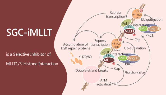 SGC iMLLT is a Selective Inhibitor of MLLT13–Histone Interaction 2019 09 08 - SGC-iMLLT is a Selective Inhibitor of MLLT1/3–Histone Interaction