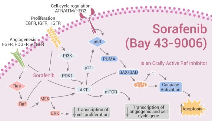 Sorafenib Bay 43 9006 is an Orally Active Raf Inhibitor 2021 09 14 - Sorafenib (Bay 43-9006) is an Orally Active Raf Inhibitor