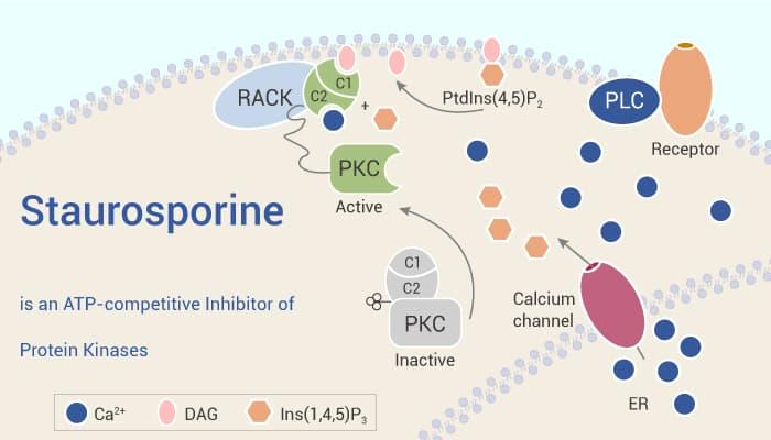 Staurosporine is an ATP competitive Inhibitor of Protein Kinases 2021 08 27 - Staurosporine is an  ATP-competitive Inhibitor of Protein Kinases
