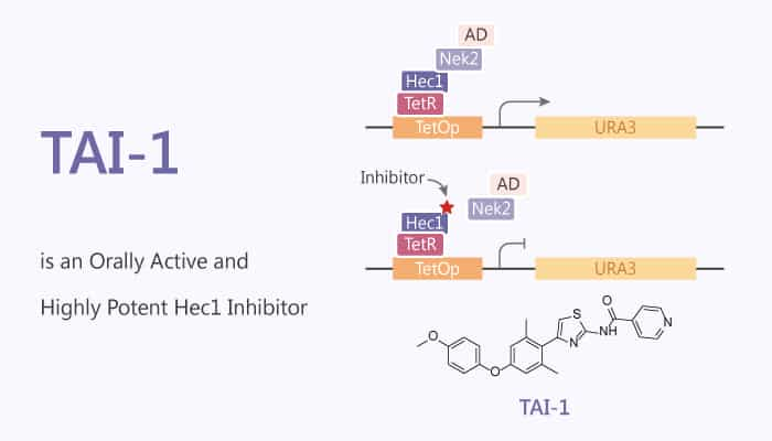 TAI 1 is an Orally Active and Highly Potent Hec1 Inhibitor 2020 07 23 - TAI-1 is an Orally Active and Highly Potent Hec1 Inhibitor