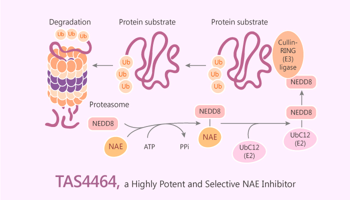 TAS4464 a Highly Potent and Selective Inhibitor of NEDD8 Activating Enzyme Shows Antitumor Activity 2019 06 29 - TAS4464, a Highly Potent and Selective Inhibitor of NEDD8 Activating Enzyme, Shows Antitumor Activity