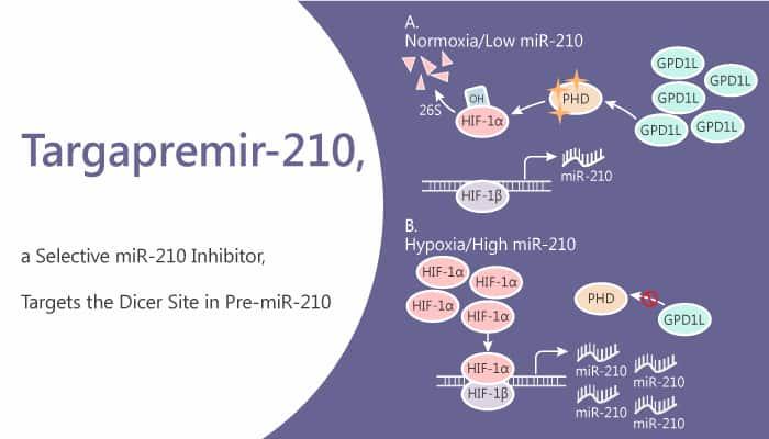 Targapremir 210 a Selective miR 210 Inhibitor Targets the Dicer Site in Pre miR 210 2020 07 09 - Targapremir-210, a Selective miR-210 Inhibitor, Targets the Dicer Site in Pre-miR-210