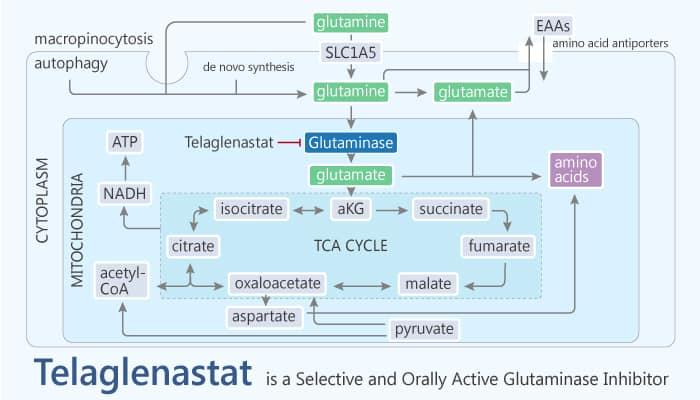 Telaglenastat is a Selective and Orally Active Inhibitor of Glutaminase 1 2019 12 14 - Telaglenastat is a Selective and Orally Active Inhibitor of Glutaminase 1