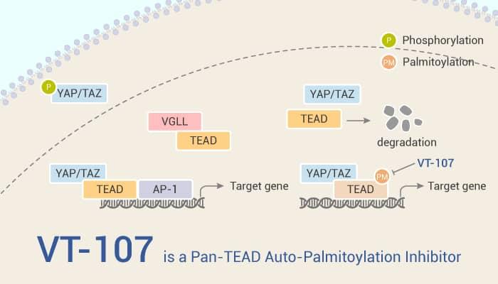 VT 107 is a Pan TEAD Auto Palmitoylation Inhibitor 2021 08 18 - VT-107 is a Pan-TEAD Auto-Palmitoylation Inhibitor