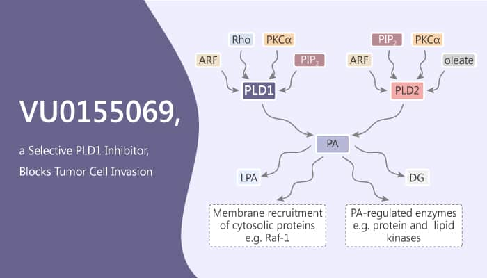 VU0155069 a Selective PLD1 Inhibitor Blocks Tumor Cell Invasion 2019 09 22 - VU0155069, a Selective PLD1 Inhibitor, Blocks Tumor Cell Invasion