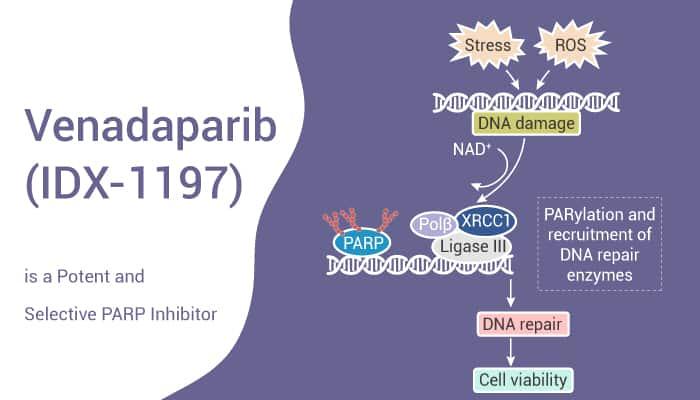 Venadaparib IDX 1197 is a Potent and Selective PARP Inhibitor 2021 07 02 - Venadaparib (IDX-1197) is a Potent and Selective PARP Inhibitor
