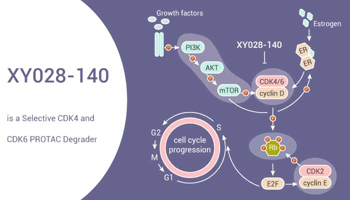 XY028 140 is a Selective CDK4 and CDK6 PROTAC Degrader 2021 07 24 - XY028-140 is a Selective CDK4 and CDK6 PROTAC Degrader