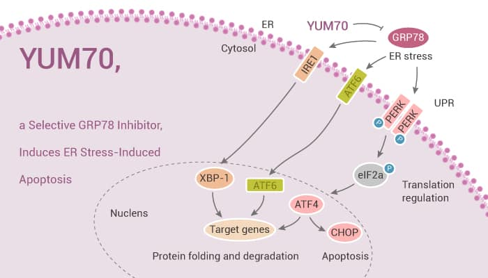 YUM70 a Selective GRP78 Inhibitor Induces ER Stress Induced Apoptosis 2021 03 23 - YUM70, a Selective GRP78 Inhibitor, Induces ER Stress-Induced Apoptosis